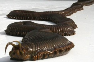 weird-animals-giant-worms.jpg